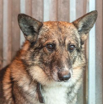 Акита - Собаки в добрые руки
