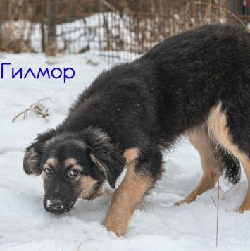 Гилмор - Собаки в добрые руки