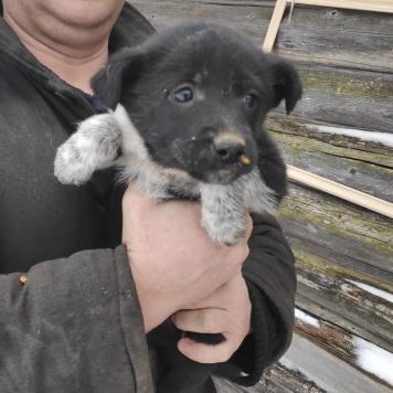 Щенки лайки - Собаки в добрые руки