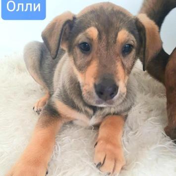 Олли - Собаки в добрые руки