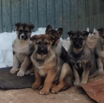 Щенки крепыши - Собаки в добрые руки