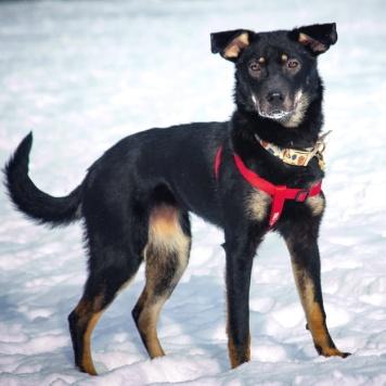 Чара - Собаки в добрые руки