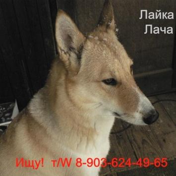 Лайка_Лача - Пропавшие собаки