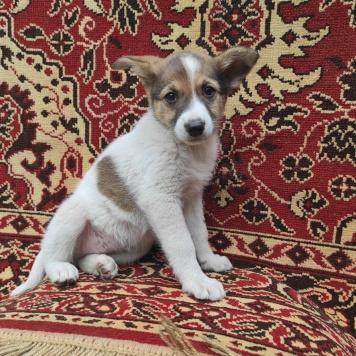 Бело-рыжие щенки - Собаки в добрые руки