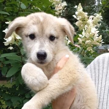 Щенулька-блондинка - Собаки в добрые руки