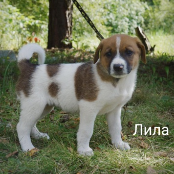 Лила - Собаки в добрые руки