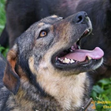 Багира - Собаки в добрые руки