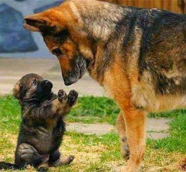 Щенок или взрослый пес?