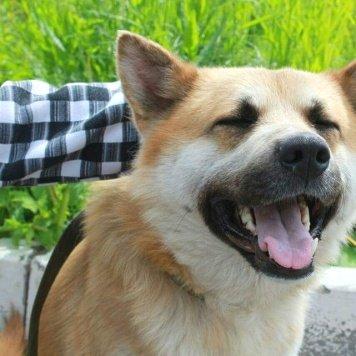 Коджи - Собаки в добрые руки