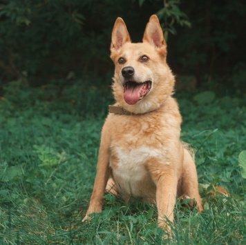 Рыжий - Собаки в добрые руки