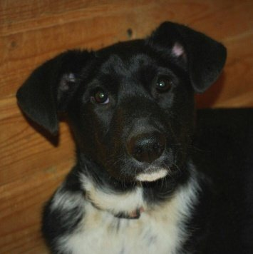 Черно-белый щенок девочка - Собаки в добрые руки