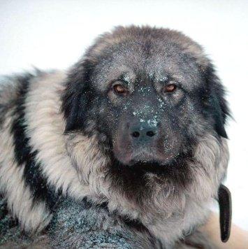 Шарпланинец Дон - Собаки в добрые руки