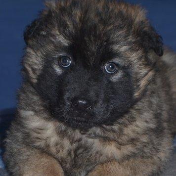 Лана Антея - Собаки в добрые руки