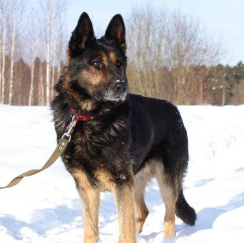 Бард - Найденные собаки