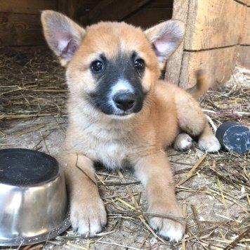 Лисёнок Сёма - Собаки в добрые руки