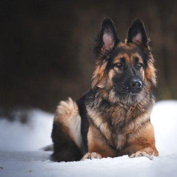 Сапфира - Собаки в добрые руки