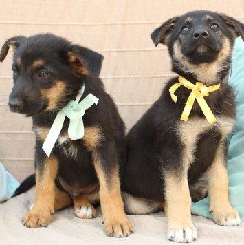 щенки - Лялечки - Собаки в добрые руки