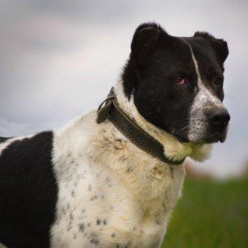 Азиз - Собаки в добрые руки