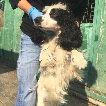 Белая спаниель - Собаки в добрые руки