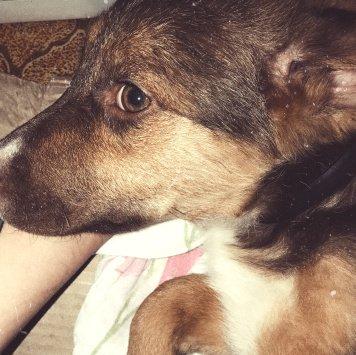Шива - Собаки в добрые руки