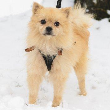 Шпиц - Собаки в добрые руки