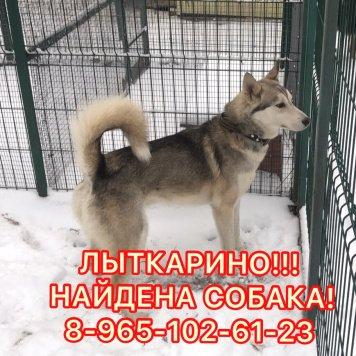 Лайка - Найденные собаки