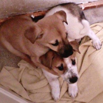 Английский фоксхаунд - Собаки в добрые руки