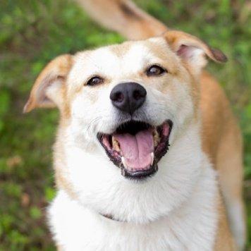 Лисичка - Собаки в добрые руки