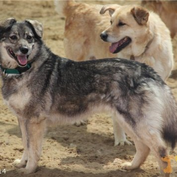 Пес - Собаки в добрые руки