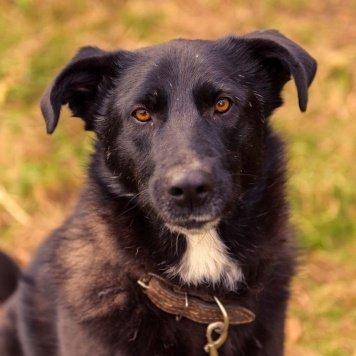 Саймон - Собаки в добрые руки