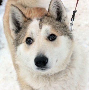 Кавасаки - Собаки в добрые руки