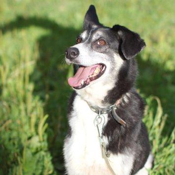 Собака -улыбака Фокс - Собаки в добрые руки