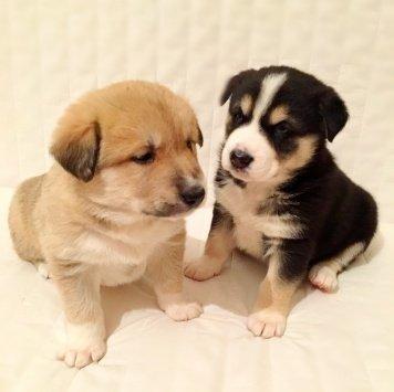 Щенки Хаски - Собаки в добрые руки