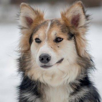 Красавица Лесси - Собаки в добрые руки