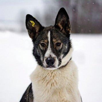 Снежинка - Собаки в добрые руки