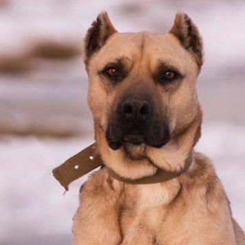 Булан - Собаки в добрые руки