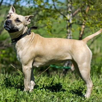 Шелби - Собаки в добрые руки