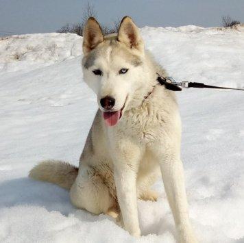 Айс - Собаки в добрые руки