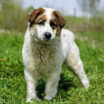 Лама - Собаки в добрые руки