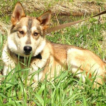 Хасик - Собаки в добрые руки