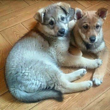 Лиса и Плюша - Собаки в добрые руки