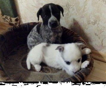 гир гера - Собаки в добрые руки