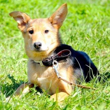 алиса - Собаки в добрые руки