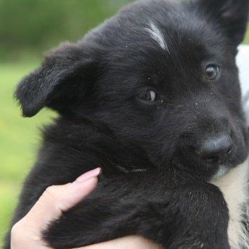 Чёрные пушистые комочки - Собаки в добрые руки