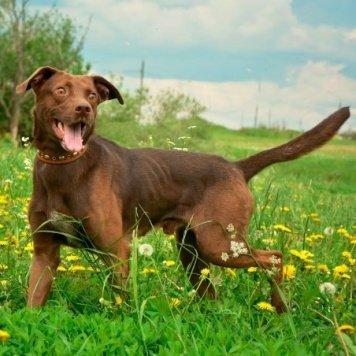 Шоколад - Собаки в добрые руки