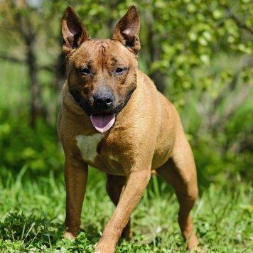 Пятачок - Собаки в добрые руки