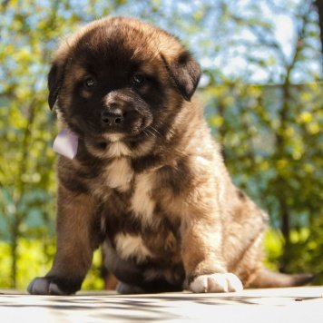 Лесси - Собаки в добрые руки