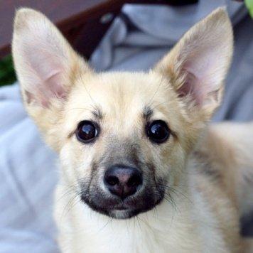 Рейчел - яркая блондинка - Собаки в добрые руки