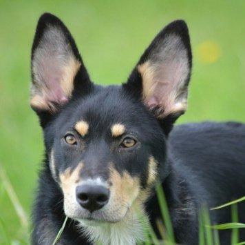 Синди - Собаки в добрые руки