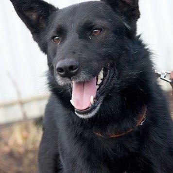 Чернышик - Собаки в добрые руки